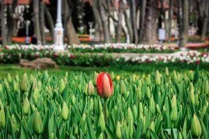 Festival de los tulipanes en Estambul